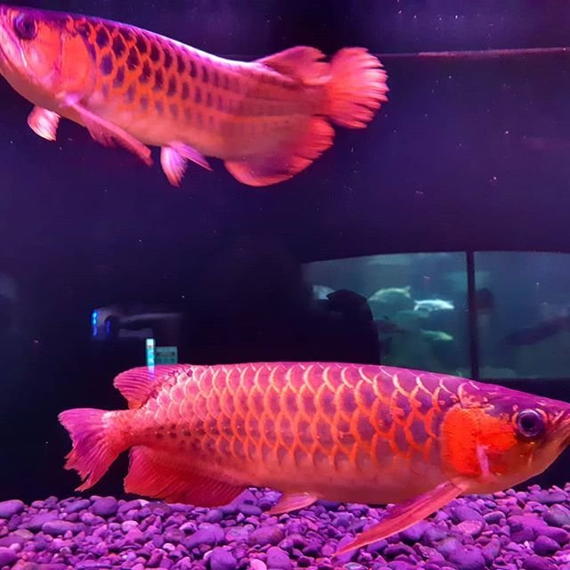 Super Red Arowana,Albino Stingray fish for sale